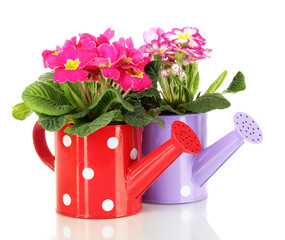 Beautiful pink primulas in watering cans, isolated on white