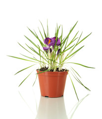 Beautiful purple crocuses in flowerpot, isolated on white