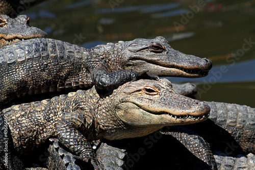 Foto op Canvas Krokodil American Alligators Basking in The Sun