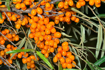 Branch of sea-buckthorn 7
