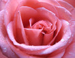 Pink rose with water droplets close up