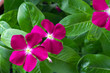 fiori di pervinca