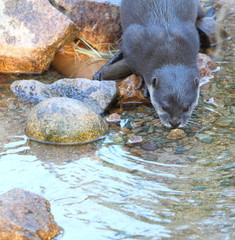Short Clawed Otter drinking