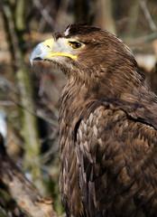 aquila nipalensis - Steppe eagle