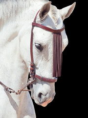 portrait of beautiful Andalisian speckled- white horse. Spain. i