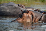 Hippos in The Victoria Nile.