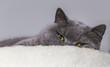 Müde Katze liegend - British Kurzhaar