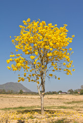 Yellow tabebuia flower against blue sky