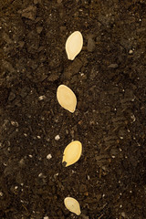 Seeds In Soil Vertical Shot XXXL