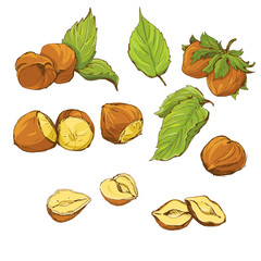Set of highly detailed hand drawn hazelnuts isolated
