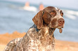 german shorthaired pointer on the beach closeup