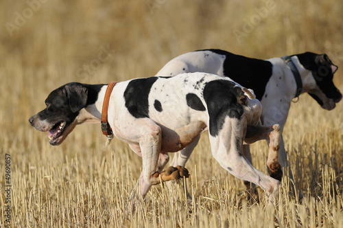 Fotobehang Jacht Hunting dogs