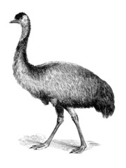 19th century engraving of an emu