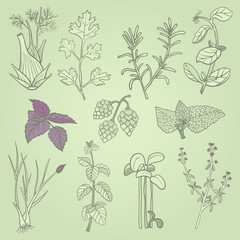 Herbs culinary hand drawn