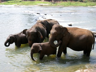 Pinnawala elephant orphanage in Sri Lanka