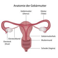 Anatomie der Gebärmutter (Uterus)