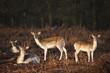 Fototapeten,fallow deer,böcke,reh,hellblond