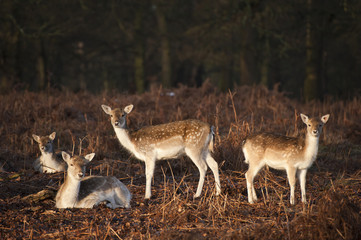 Herd of fallow deer in forest landscape