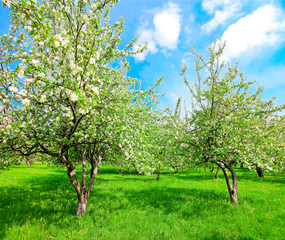 blooming apple trees and blue sky in spring park