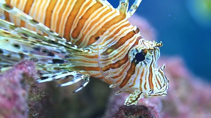 Lionfish in the sea