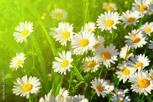 Daisy flower on green meadow