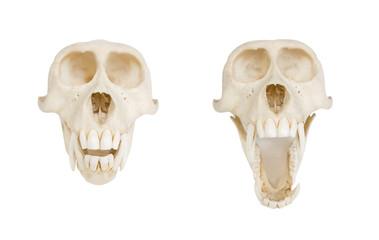 Monkey skull, on white, front view