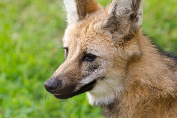 Portrait of maned wolf