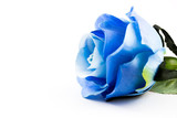 Blue rose on a with background