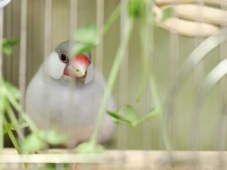 豆苗を喰む文鳥