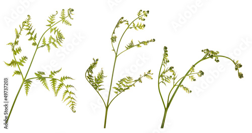 three green fern branches on white