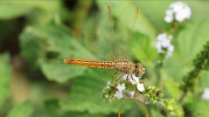 golden dragonfly on flower
