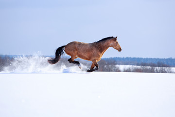 Trakehner light-bay mare in snow field