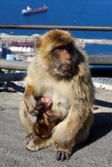 Barbary ape, Gibraltar © Arena Photo UK
