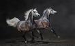 Two gray arabian horses gallop on dark background