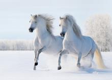 Deux chevaux blancs au galop sur le champ de neige
