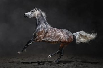 Gray arabian horse gallops on dark background