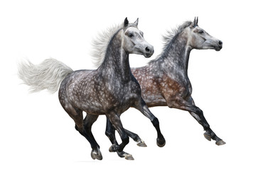 Two gray arabian horses gallop on white background