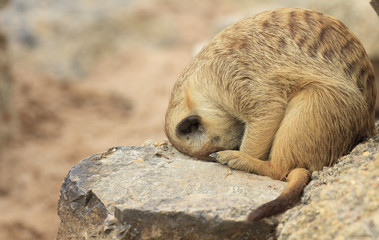 Watching little wild suricate meerkat