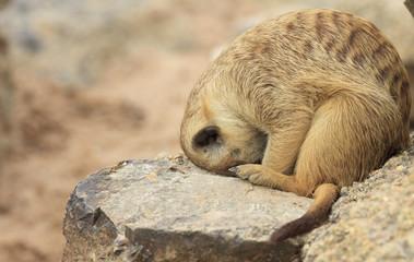 Watching little wild suricate meerkat
