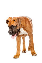 German Boxer puppy