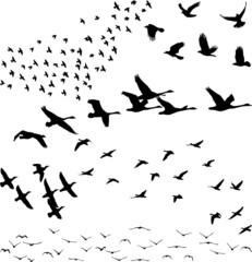 Silhouette a flock of birds