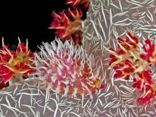 sea snail parasite a soft coral