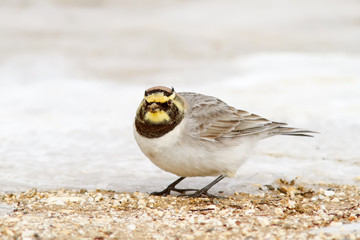 Horned Lark Looking