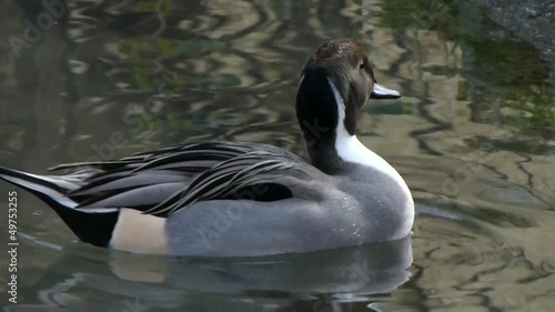 Northern Pintail male. Codone maschio.