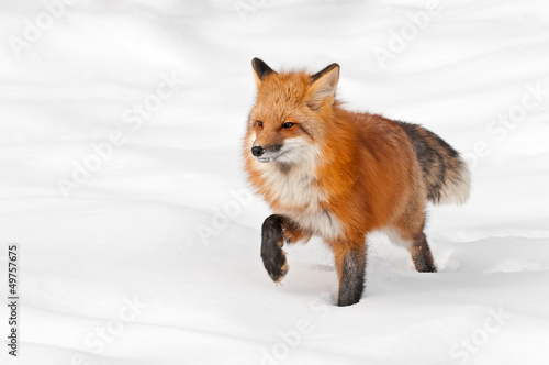 Red Fox (Vulpes vulpes) Stands in Fresh Snow