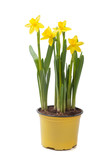 Yellow narcissus in the pot