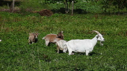 visited a herd of goats on the meadow