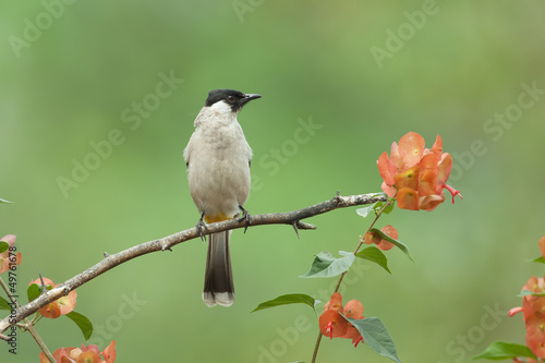 Sooty-headed Bulbul on branch with red flower, thailand