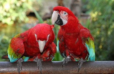 Married couple of Scarlet Macaw.