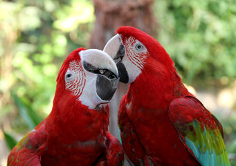 Lovely parrots Scarlet Macaw.